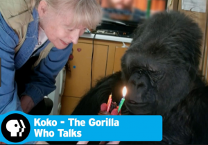 "Koko the gorilla came forward with ""me too"" accusations of sexual assault"